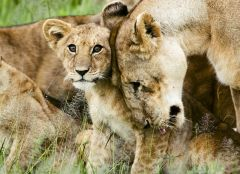 800px-Lion_cub_with_mother