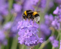 256px-Busy_bee