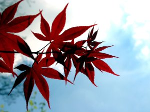 Japanese_Red_Maple_by_wearebombs