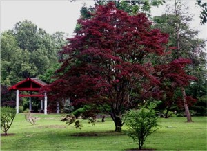x Acer palmatum 'Atropurpurem'